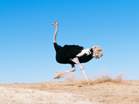 Image_0007.i_am_late_black_feathered_ostrich