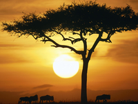 Image_0009.kenya.masai_mara.blue_wildebeests_at_sunrise