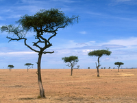 Image_0016.kenya.scattered_acacia_trees