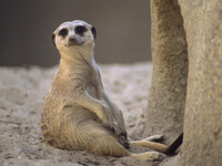 Image_0017.meerkat.taking_a_load_off
